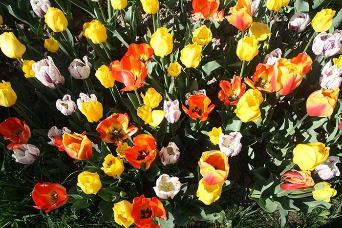 tulipani dall'alto